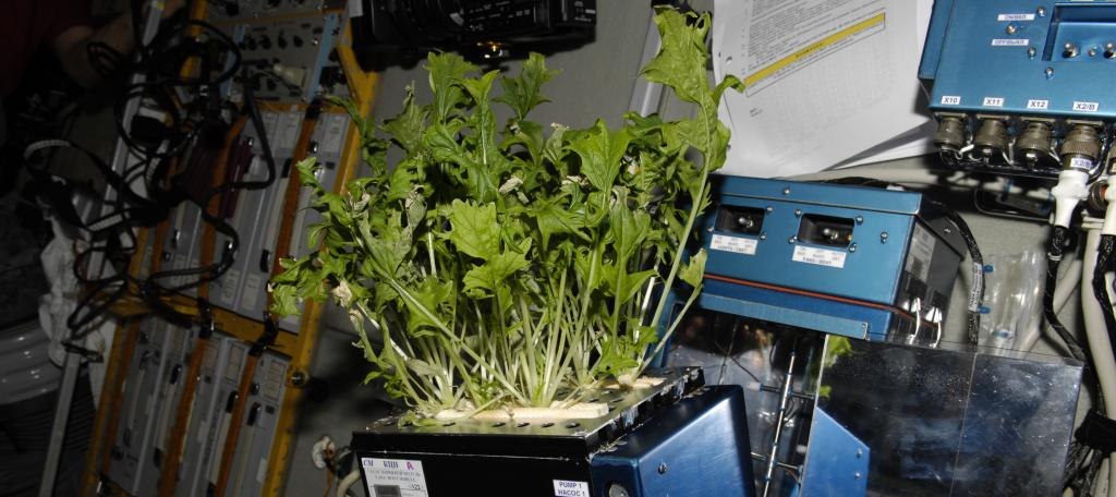 Mizuna lettuce growing on the International Space Station (NASA)